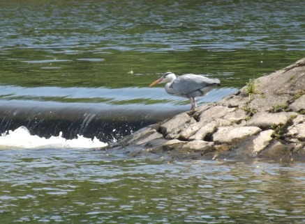 Crook Heron 1