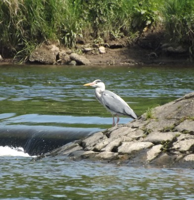 Crook Heron 2