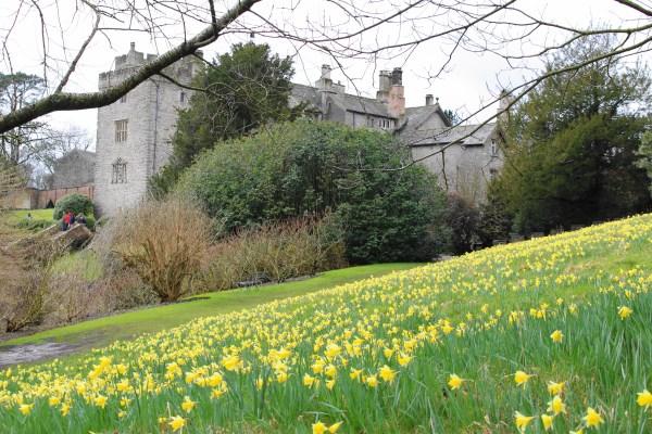 Sizergh Castle Daffodils 1