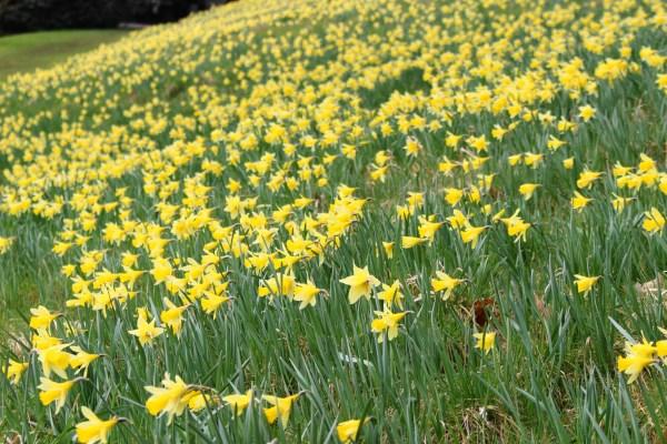 Sizergh Castle Daffodils 2