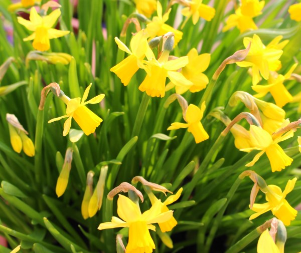 April Daffodils