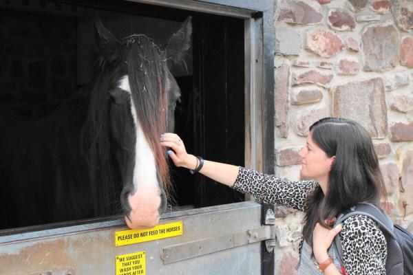 11 Shire Horse Rebecca